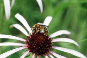 Coneflower bee on Echinacea flower